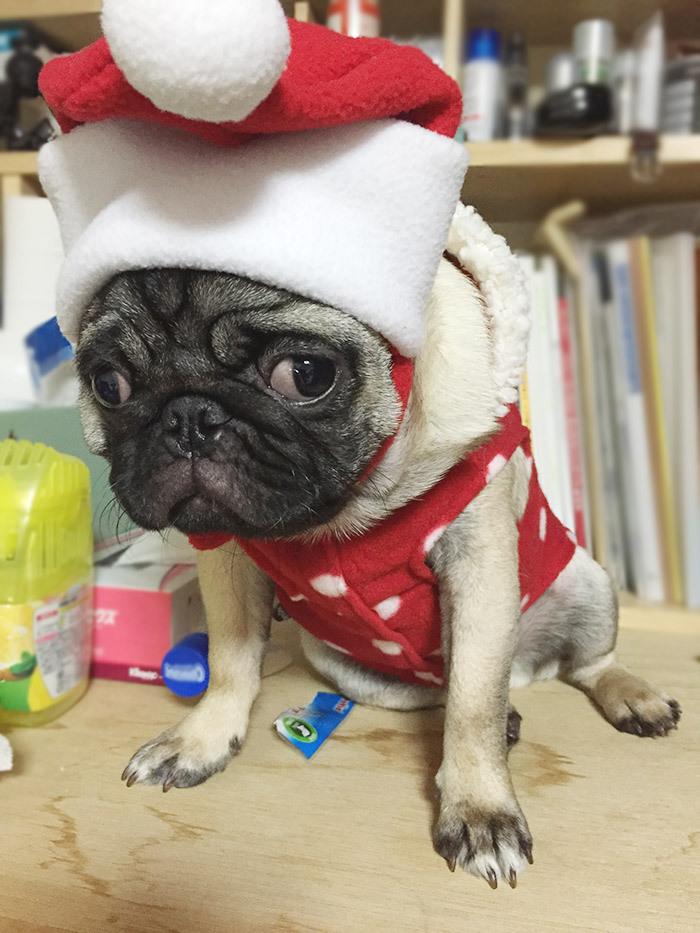 パグにクリスマスコスチューム服を着せてみた
