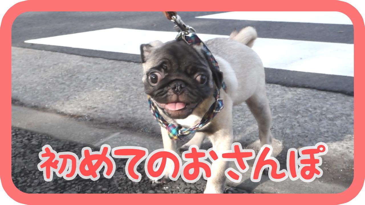 パグ 犬・ハナ、初めてのおさんぽ(お散歩)!