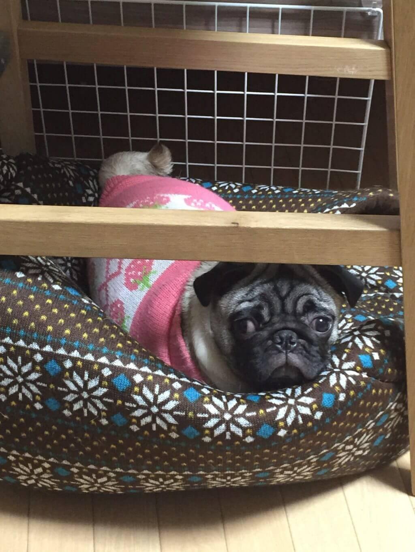 パグの新しい寝床(ドーム型ベッド)が届きました!