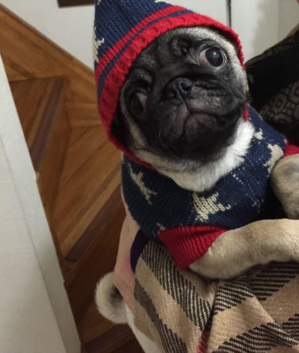パグに服を着せてみた!