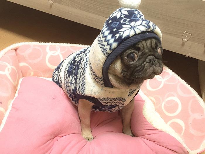 パグに着せる犬用の服が届いたよ!フワフワあったかノルディック コート編