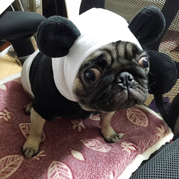 パグの新しい服が届いたよ!パンダ編