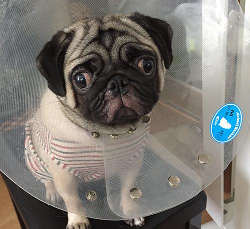 パグの目がおかしい。獣医で診てもらいエリザベスカラーを装着
