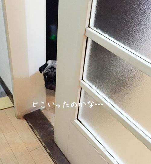 ドア越しに覗くパグ1