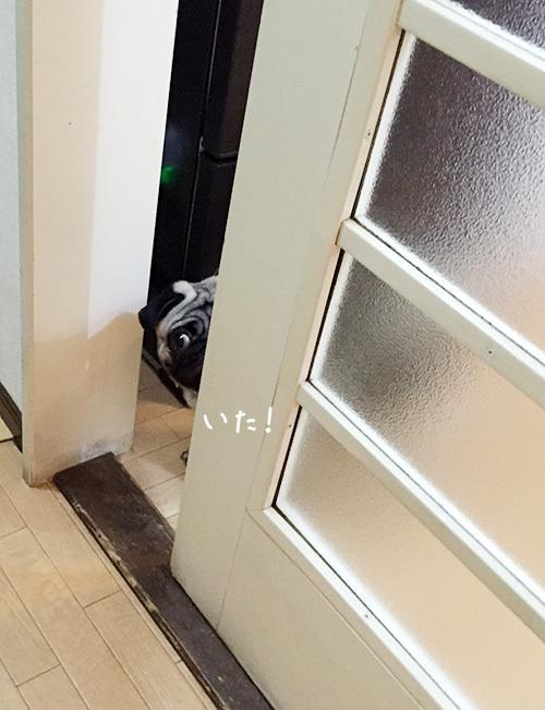 ドア越しに覗くパグ2