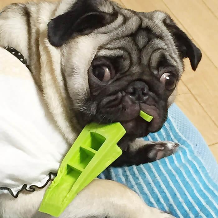 パグのお気に入りのおもちゃ、ぬいぐるみを紹介!