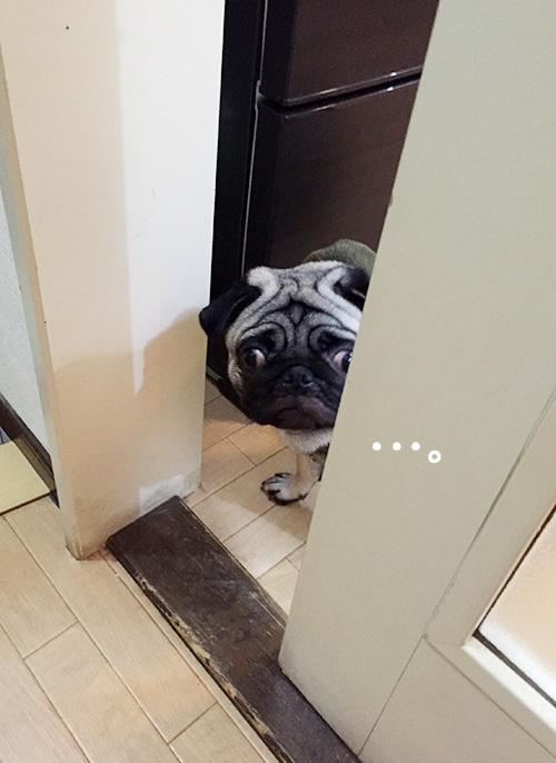 覗き込んで様子を伺うパグ