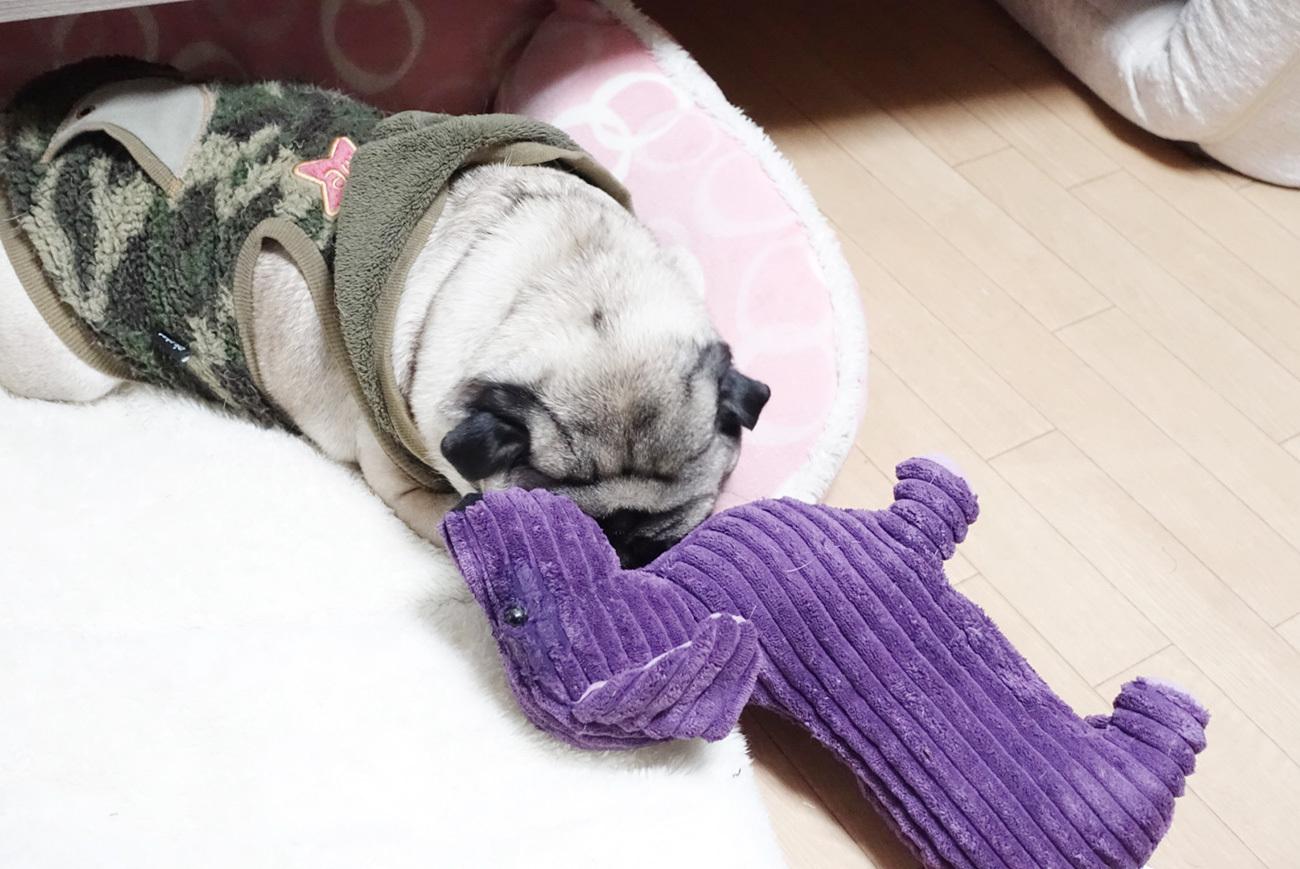 無呼吸?寝ている時に一瞬いびきがとまるパグ