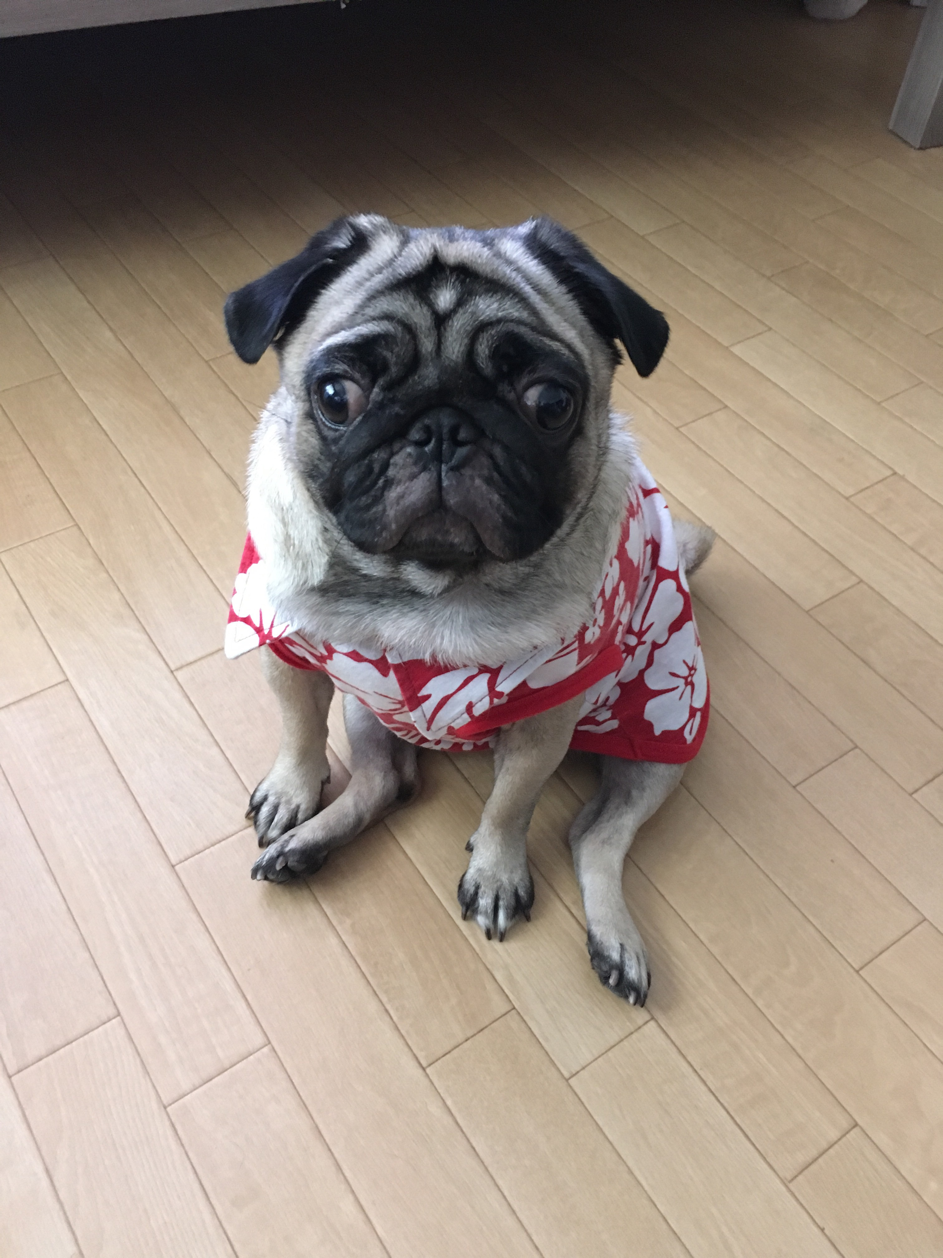 パグ犬は目の病気や怪我が起こりやすい