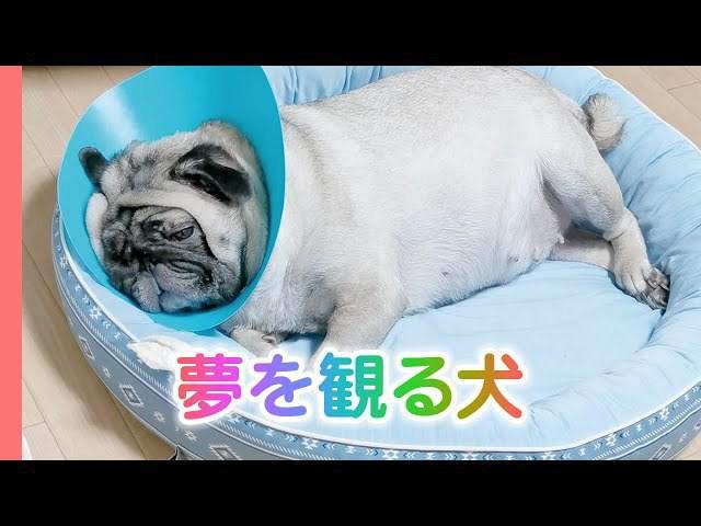 犬も夢を観る♪寝ながら吠えてご飯を催促するハナ